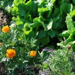 lettuce and marigolds